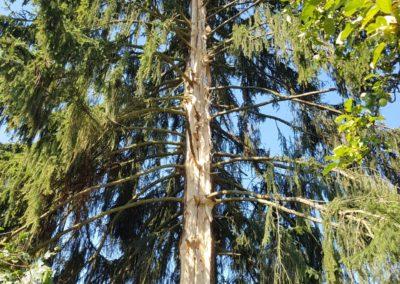 arbre-foudroye-ban-de-laveline (2)